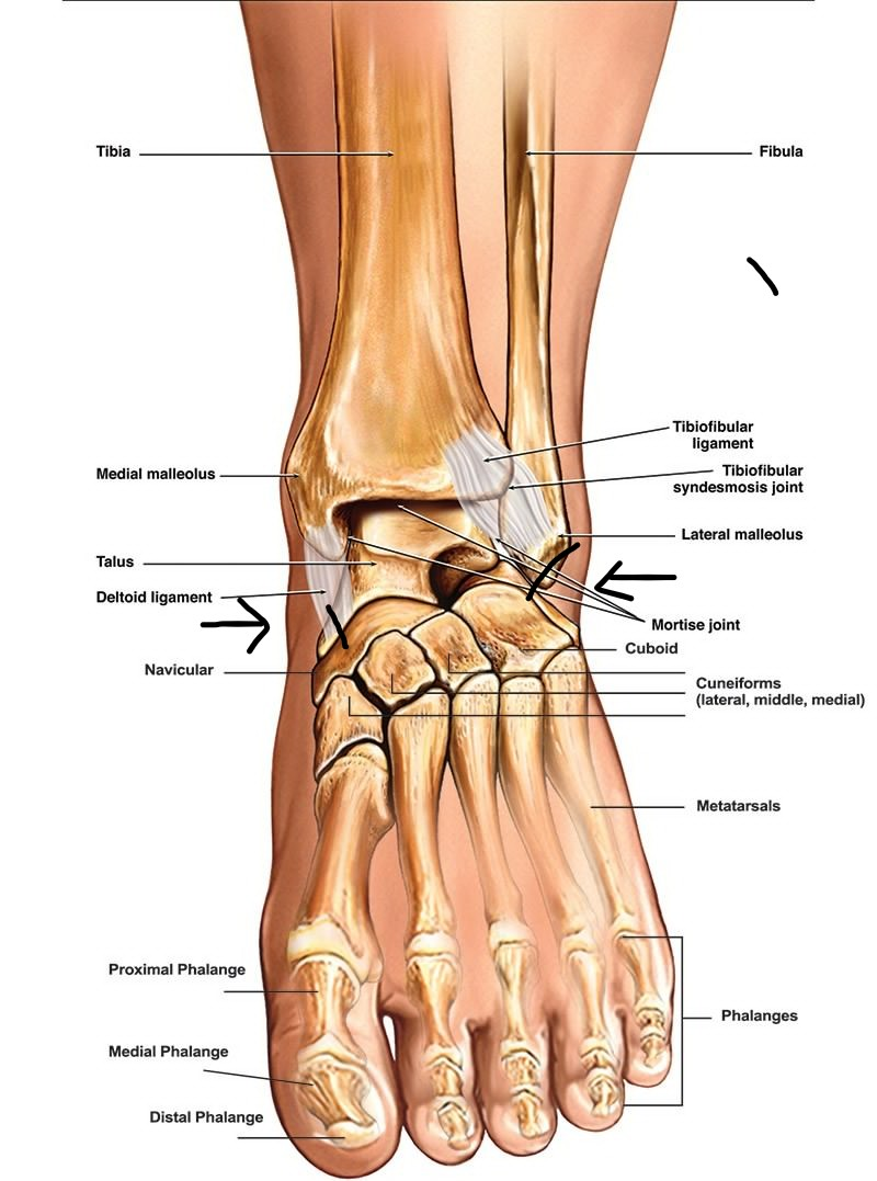 left ankle diagram